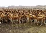 """094 – Manco también dijo que realizaría una cacería (el gran """"chaco"""" o caza ceremonial de vicuñas), aunque lo que pretendía era realizar los rituales previos a un enfrentamiento militar."""