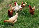 108 – (1536 – Septiembre) Los Impuestos. El cabildo de Lima decreta que todos los ciudadanos españoles tienen que pagar un impuesto anual en gallinas, no hay mucho problema en cumplir con la disposición, por que hay muchas en estas tierras.