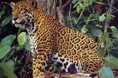64 RESERVA NATURAL DE TAMBOPATA - JAGUAR